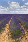 Plateau de Valensole.  Close view of rows of lavender extending to horizon with white cloudscape in blue sky above.crop scent scented fragrant fragrance flower flowering herb European French Western...