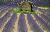 Ruins of stone barn or house standing in field of lavender near Valensole.crop scent scented fragrant fragrance flower flowering herb European French Western Europe Agriculture Color Farm Colour Farm...