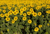 Field of sunflowers near village of Rognes.crop flower flowering European French Western Europe Color Colour Farming Agraian Agricultural Growing Husbandry  Land Producing Raising