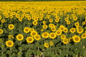 Field of sunflowers in early morning light near village of Rognes.crop flower flowering European French Western Europe Color Colour Farming Agraian Agricultural Growing Husbandry  Land Producing Rais...