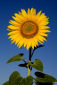 Single sunflower against blue sky growing in field near village of Rognes.crop flower flowering European French Western Europe Color Colour Farming Agraian Agricultural Growing Husbandry  Land Produc...