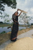 Young woman winnowing rice.Asia Asian Bangladeshi Farming Agraian Agricultural Growing Husbandry  Land Producing Raising Female Women Girl Lady Immature One individual Solo Lone Solitary Asia Asian...