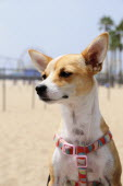 Local resident dog  Santa MonicaSanta Monica American Destination Destinations North America Northern United States of America LA Sand Sandy Beaches Tourism Seaside Shore Tourist Tourists Vacation Th...