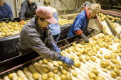 Sorting FL 1879 potatoes for transport to potato plant for production of crisps.Chips American Canadian North America Northern French Fries Frites Potato Chips
