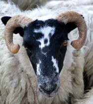 Harris sheep waiting to be sheared.European Alba Farming Agraian Agricultural Growing Husbandry  Land Producing Raising Great Britain Livestock Northern Europe UK United Kingdom