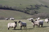 AGRICULTURE, Farming, Animals, sheep grazing on the south downs near Ditchling, East Sussex, England.