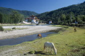 BHUTAN, Punakha, Punakha Dzong fortress temple by the Mo Chhu Mother River. Horses grazing on grass in the foreground.