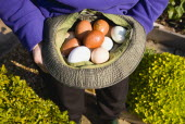 Agriculture, Poultry, Chickens, Lady in her allotment holding a hat containing a variety of free range eggs that she has collected from her hens.