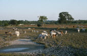 Mexico, Gulf Coast, Cuidad del Carmen, Cattle grazing on deforested land.