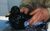 Wales, Pembrokeshire, Tenby, Scooter Duck covered in oil after Sea Empress spill, being cleaned.