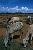 Kenya, Environment, Drought, Samburu cattle weakend by protracted drought and susceptable to death from pneumonia when the rain arrives.