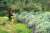Ecuador, Woman with eucalyptus saplings to be used in reforestation project near Cuenca.