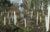 Environment, Reforestation, Replanting of trees in deforested area.  Young saplings in protective tubing growing in area of deciduous trees.