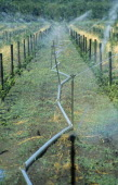 SOUTH AFRICA, Western Cape, Paarl, Irrigation system on vineyard running the length of growing vines.