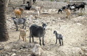 Haiti, La Gonave Island, Goats provided to haitian families by the Scottish Charity LemonAid which helps support the people with health care and clean water programs.
