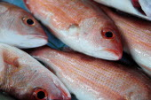 Mexico, Guerrero, Zihuatanejo, Close, cropped view of red snapper fish for sale.