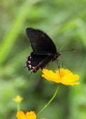 Mexico, Jalisco, Puerto Vallarta, Black and red butterfly on orange flower.