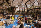 Japan, Tokyo, Ueno Park, Hanami cherry blossom viewing parties under cherry trees in full blossom, families and groups of young people having picnics.