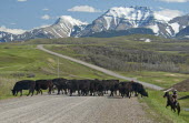 Canada, Alberta, Waterton, Spring cattle drive in the shadow of the Rocky Mountains. A rancher on his horse, ready to throw his lasso, herds his black Aberdeen Angus cattle across a gravel road to bet...