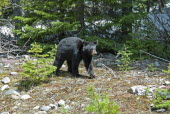 Canada, Alberta, Waterton Lakes NP, Black Bear cub Ursus americanus at this UNESCO World Heritage Site, Cub is out foraging with its mother and sibling on a sunny evening in late Spring, Remnants of s...