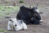 Nepal, Upper Mustang, Yak mother and a baby, in a high-altitude nomad camp in a mountain valley near Lo Manthang.