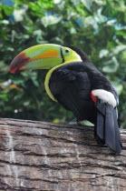 Mexico,Veracruz, Toucan native to Veracruz with bright, multi coloured bill perched on branch.