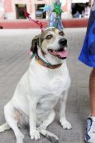 Mexico, Bajio, San Miguel de Allende, Dog dressed for Independence Day celebrations in El Jardin town square.
