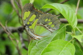 Mexico, Jalisco, Puerto Vallarta, Green butterfly on leaf with folded wings in Las Juntas Botanical Gardens.