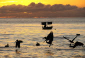 Mexico, Jalisco, Puerto Vallarta, Playa Olas Altas, Pelicans and fishing boat silhouetted on the water at sunset.