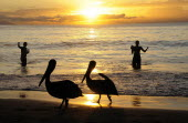 Mexico, Jalisco, Puerto Vallarta, Playa Olas Altas, Two pelicans on the beach and two fishermen standing knee deep in the water silhouetted at sunset.