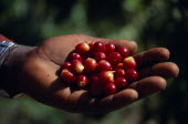 West Indies, Jamaica, Agriculture cropped shot of hand holding ripe coffee beans.