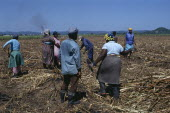 West Indies, Jamaica, Westmoreland parish women clearing sugar cane field after the cane has been cut on the eastern plantation.
