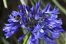 Bee on Agapanthus Deep Blue flower.