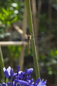 Dragonfly on Agapanthus.