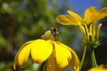Bee on Rudbeckia laciniata Herbstsonne green headed coneflower.