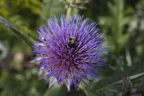 Bee on purple coloured Thistle.