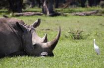 Kenya, Lake Nakuru National Park, White Rhinoceros.