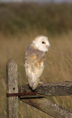 Barn owl, Tyto alba, Perched On Old Farm Gate in field,  South West, England, UK.