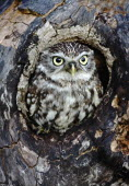 Little owl, Athene noctua,  Perched in hole of tree, South West, England, UK.