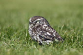 Little owl, Athene noctua, Standing on ground in grass, North Yorkshire, England, UK.