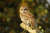 Tawny owl, Strix aluco, Perched on ivy covered branch, eyelids half closed, North Wales, UK.