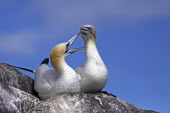 Pair Of Gannets, Morus bassanus, bonding at nest site  on cliff edge, Bass Rock, Firth of Forth, Scotland, UK.
