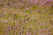 Red grouse, Lagopus lagopus, Female hiding amongst heather in the early morning, North Yorkshire, England, UK.