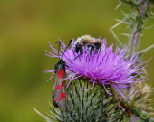Six-spot Burnet Moth, Zygaena filipendulae, and Bee vying for Pollen on head of Thistle, Shropshire, England, UK.