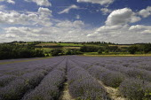 England, Kent, Shoreham, Lavender field at Castle Farm.