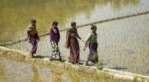 Bangladesh, Ragamati, Women walking across rice paddy fields.