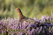 Animals, Birds, Gourse, Red Grouse, Lagopus lagopus, Male standing proud in full bloom purple heather, Yorkshire, England, UK.