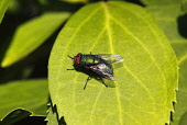 Animals, Insects, Fly, Greenbottle, Lucilia caesar, Resting on leaf in garden, Wirral, England, UK.