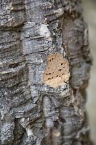 Portugal, Estremadura, Lisbon, Detail of cork tree bark showing pattern.