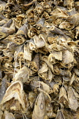 Norway, Troms, Havnnes, Air dried Stockfish cod heads primarily for West Africa, principally Nigeria, where they are used in soup.